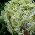 Catching the last of the Elderflowers…