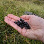 Wild Berries in Austria