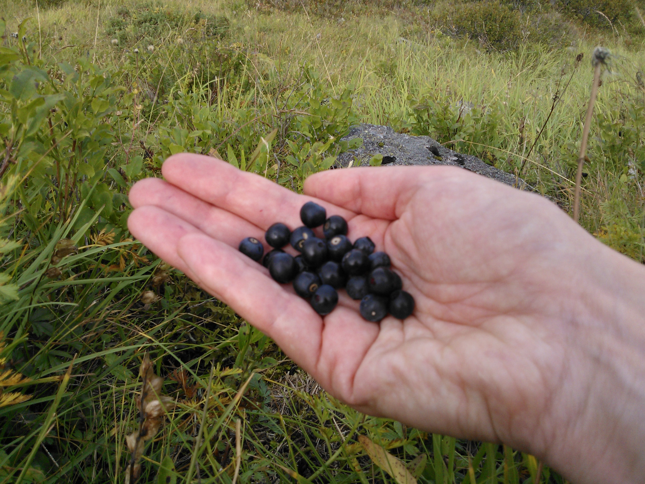 Wild Berries in Austria