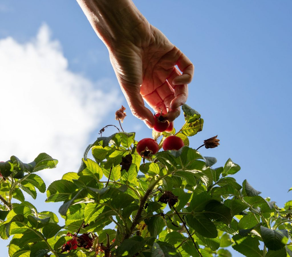 Gathering rosehips on a foraging course in Cornwall