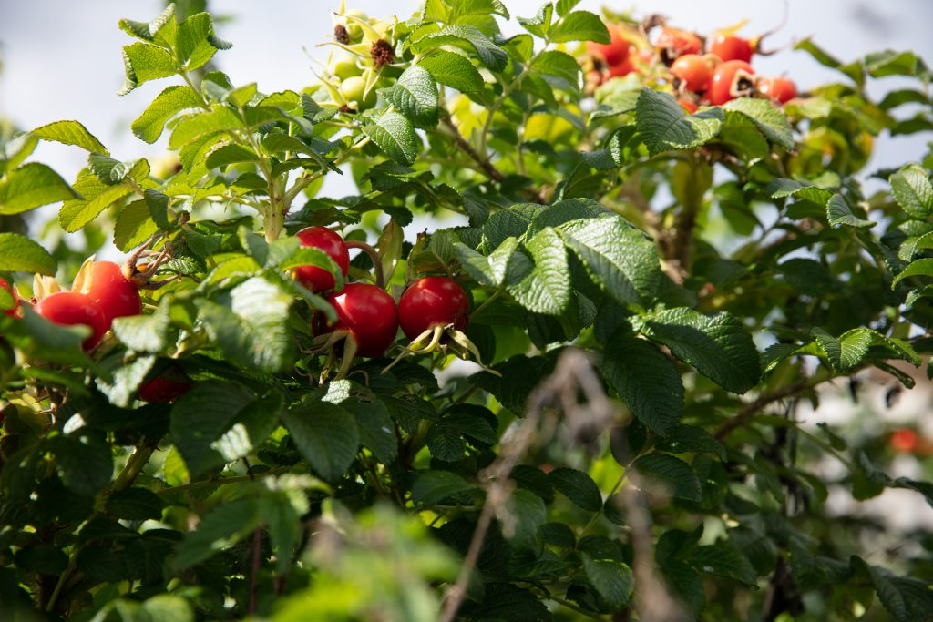 Foraging for wild Japanese rosehips in Cornwall