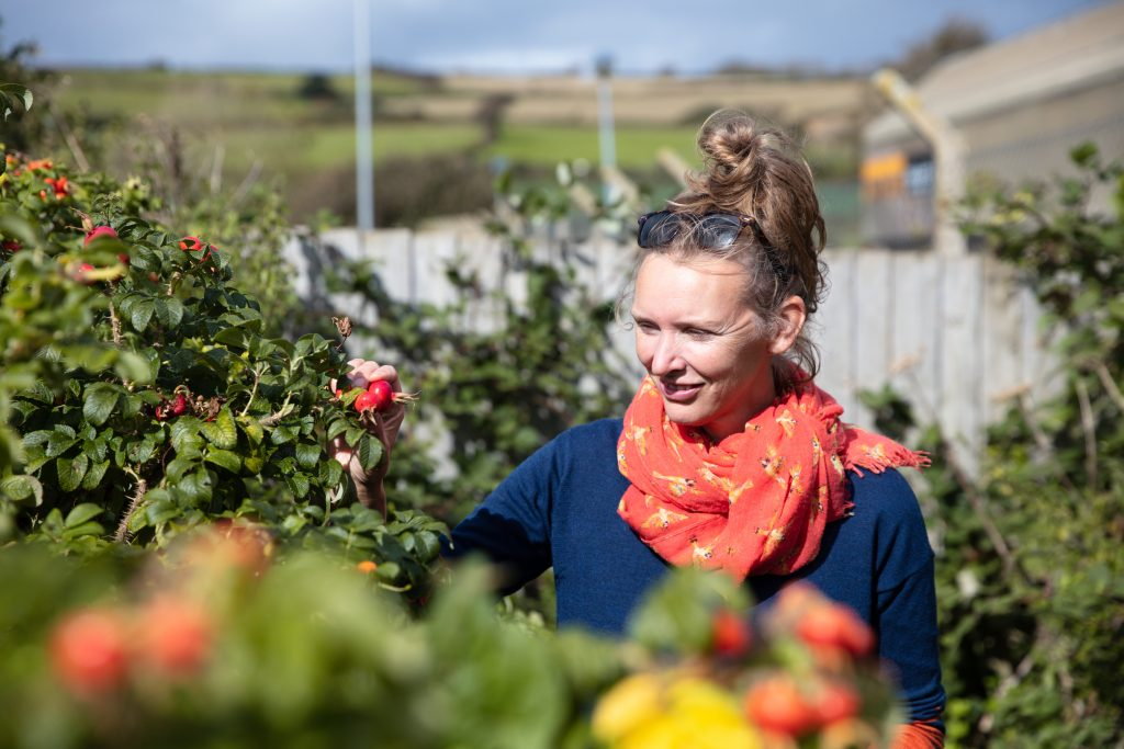 Foraging for wild rosehips near the coast in Cornwall