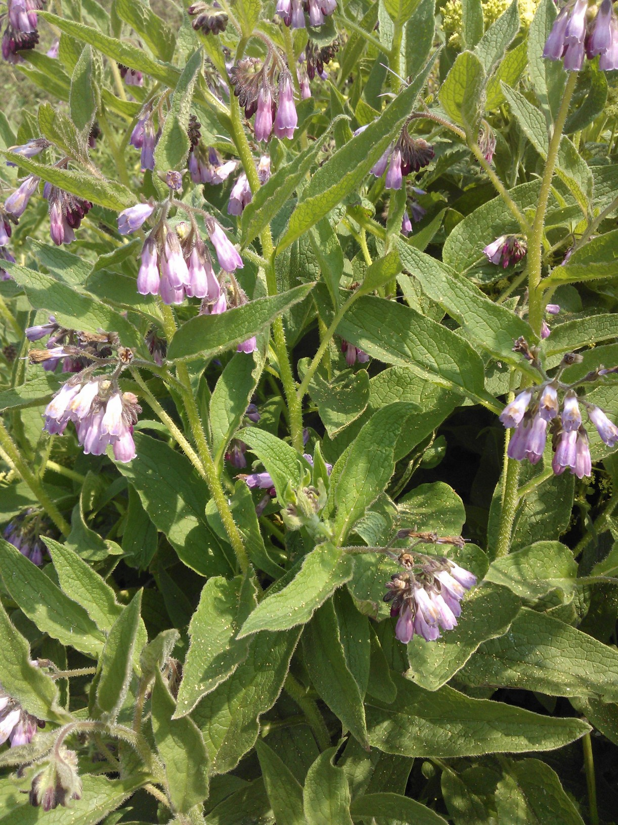 Comfrey, to eat or not to eat?