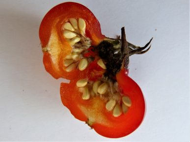 Seeing the seeds inside the rosa rugosa fruit