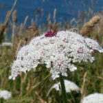 Foraging on the South West Coast Path