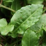 Plant inspired Poetry – Common Sorrel