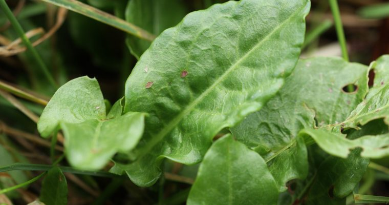 Plant inspired Poetry – Common Sorrel