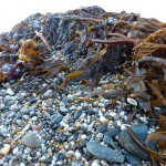 Edible Storm Debris? Sugar Kelp Seaweed after the Storm