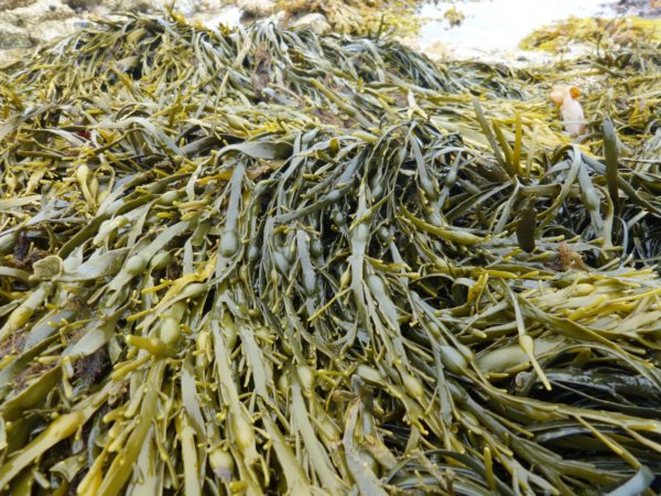 Edible seaweed over rocks