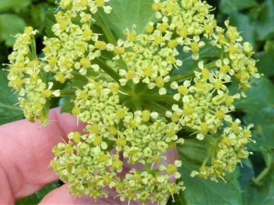 Flower of Alexanders, Smyrnium olusatrum