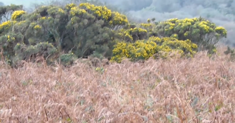 Foraging for Gorse Flowers in Winter