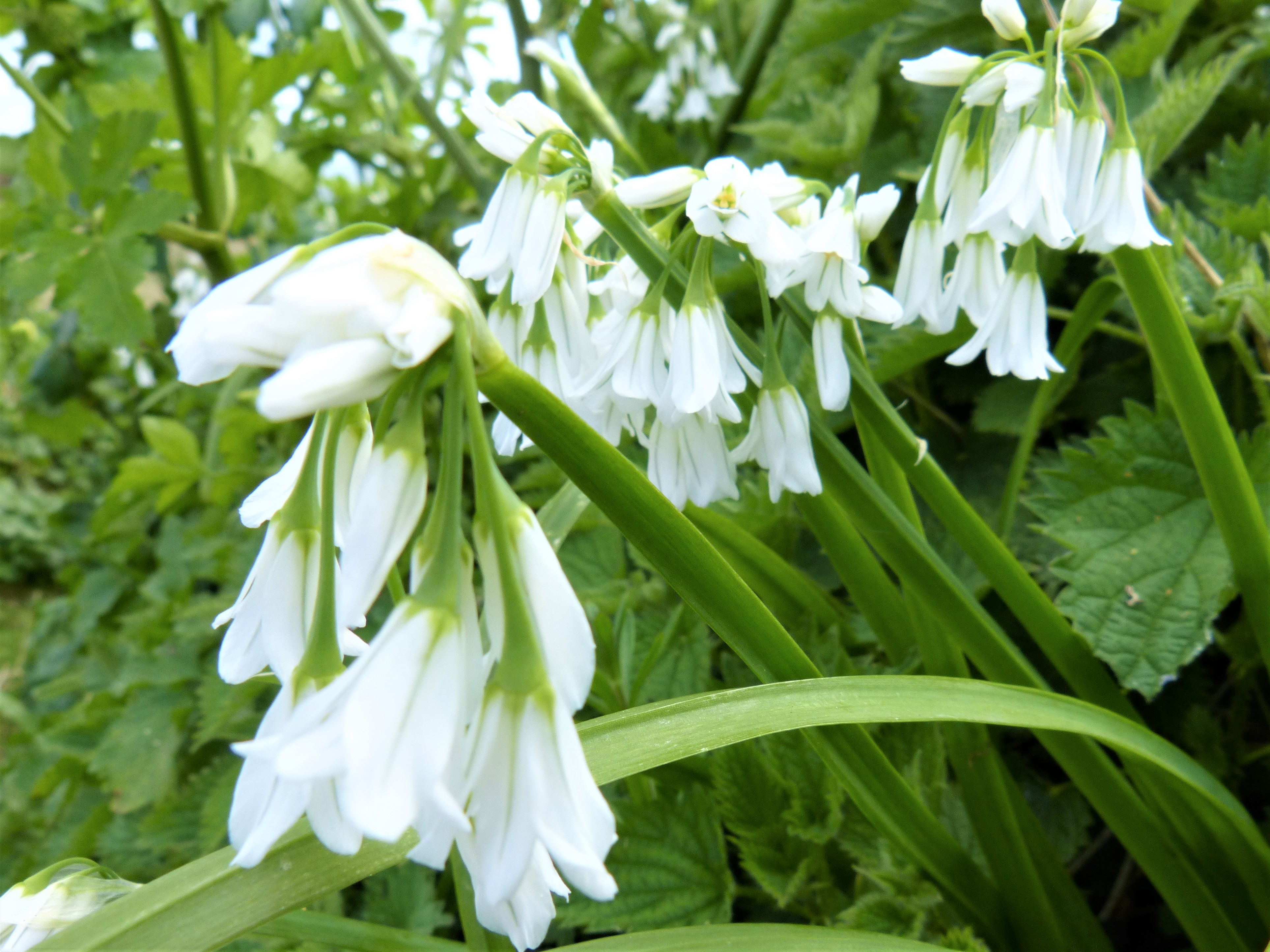 Wild garlic and seaweed oil inspired by nathan outlaw wild walks allium triquetrium has long thin leaves and stems which are triangular shaped and drooping white flowers mightylinksfo