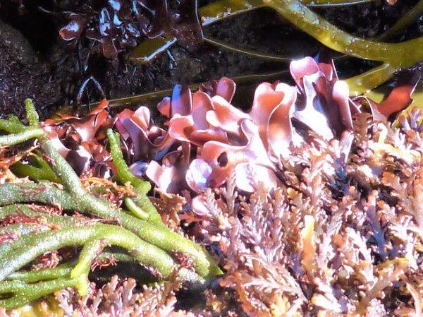 chondrus crispus and codium fragile