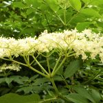 How and When to Pick the Best Elder Flowers