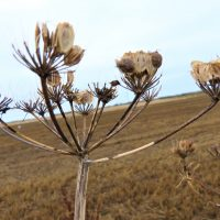 A dried seed-head of Common Hogweed with a ploughed field behind
