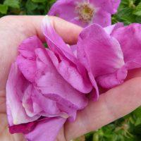 Foraged beach rose petals