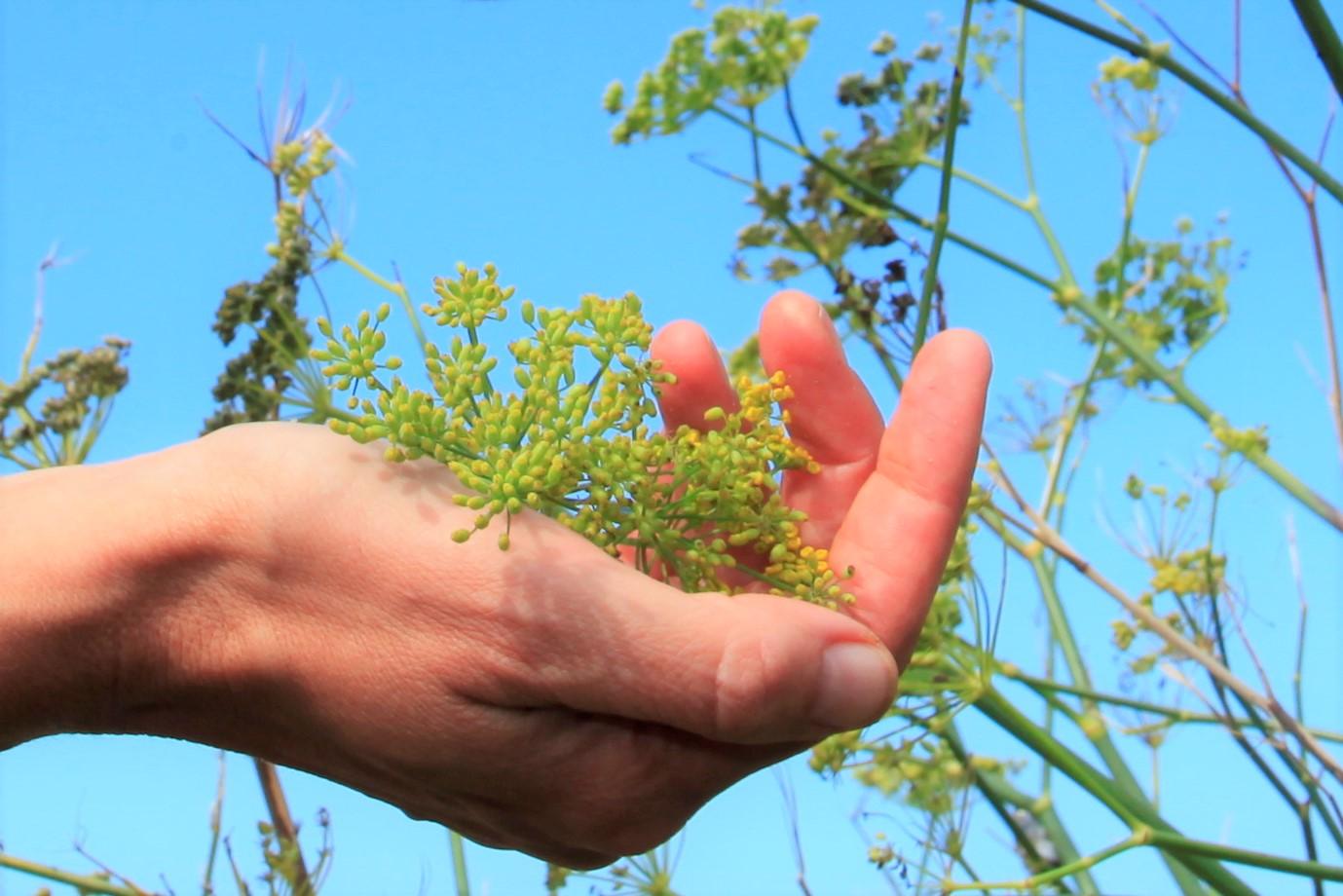 Wild Fennel Seed Bunyols