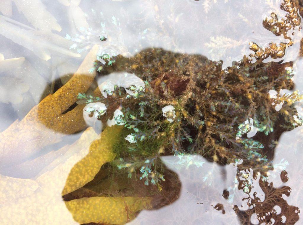 Cystoseira tamariscifolia i