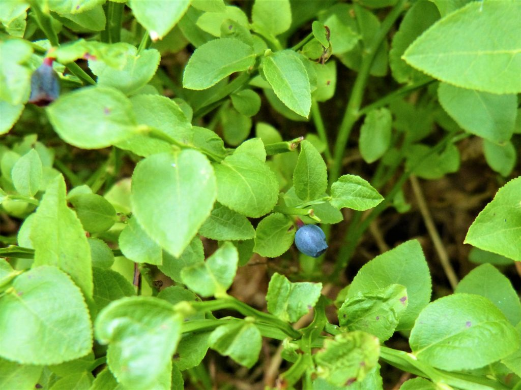 Single bilberry on a bush