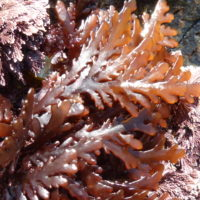Seaweed pepper dulse growing on the rocks