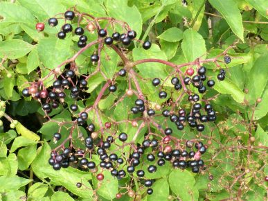 Sustainable foraging of elderberries