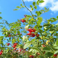 Wild rosehip fruits