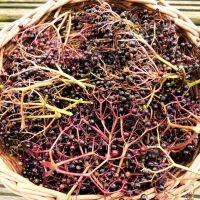 Wonderful black elderberries (sambucus nigra)