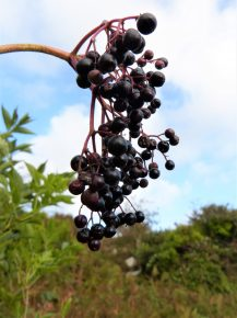 How to forage elderberries in a sustainable way