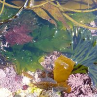 Rockpool of edible seaweeds