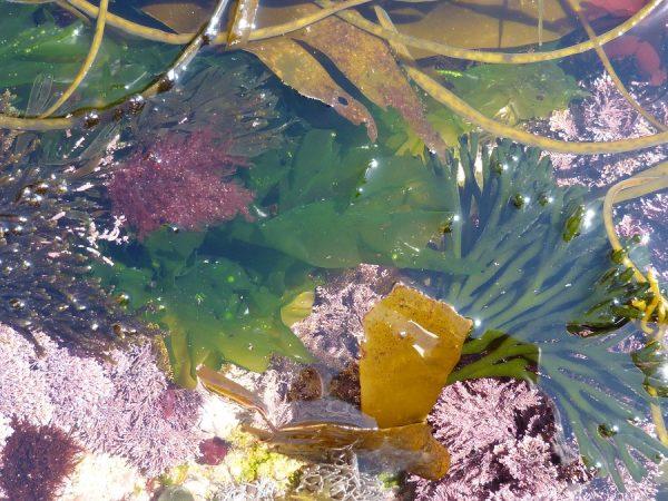 Rockpool of edible seaweeds