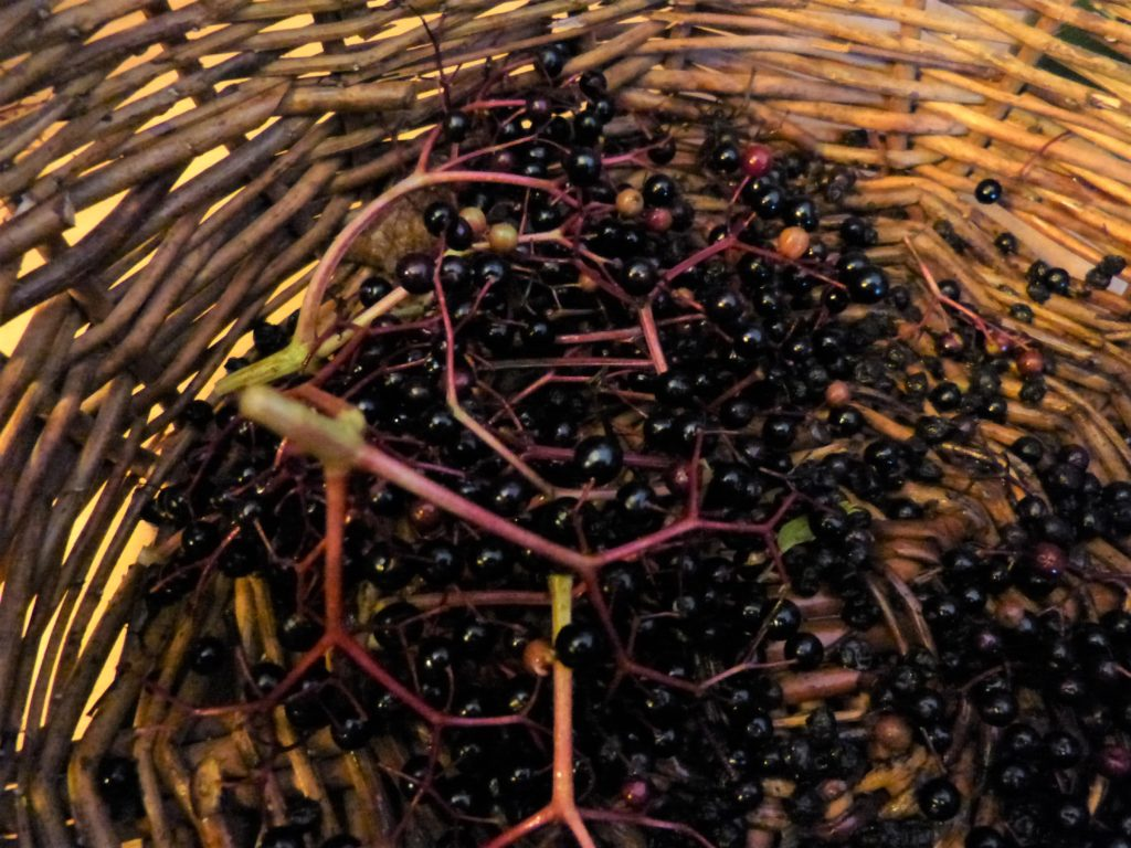 basket of elderberries