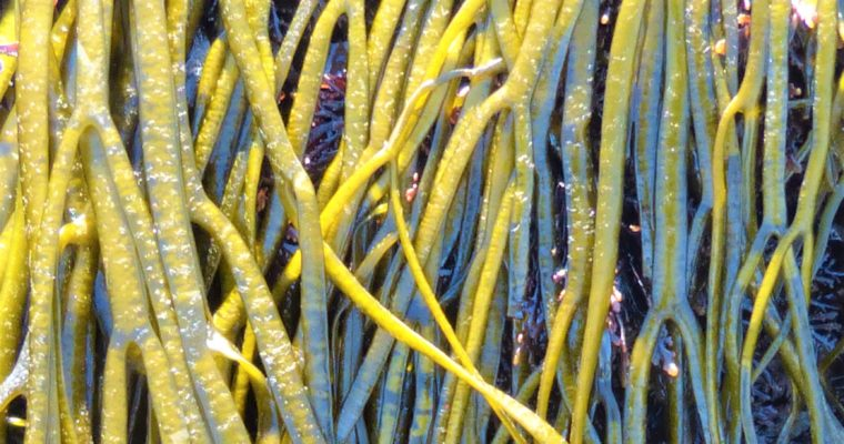 A Sea Spaghetti Recipe – Cheese Straws with Seaweed