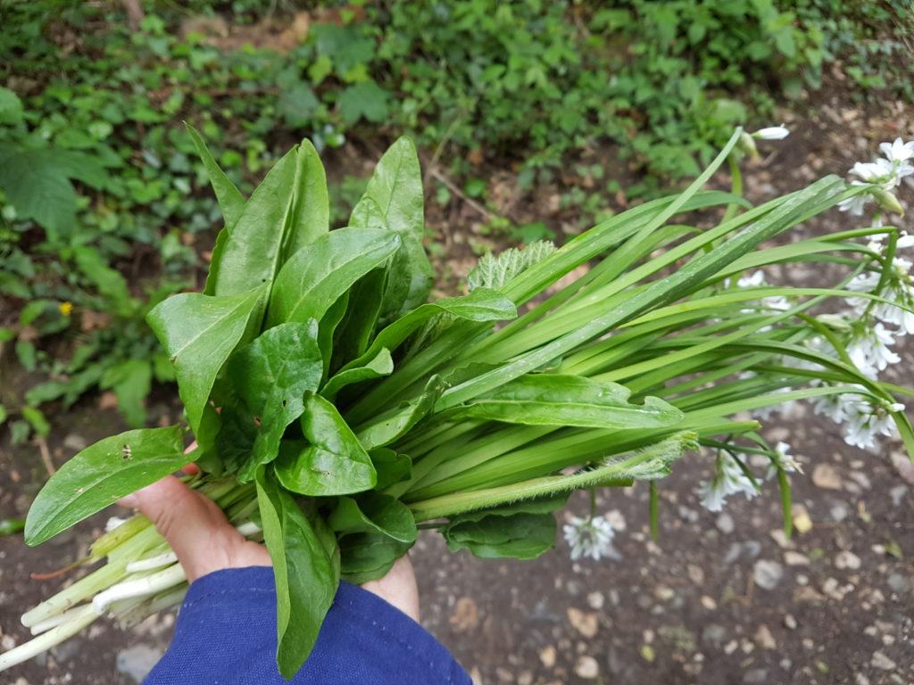Allium triquetrium and Rumex acetosa