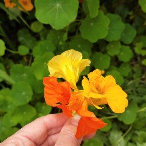 Nasturtium microphyllum and Nasturtium officinale