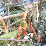 Eating Japanese Knotweed