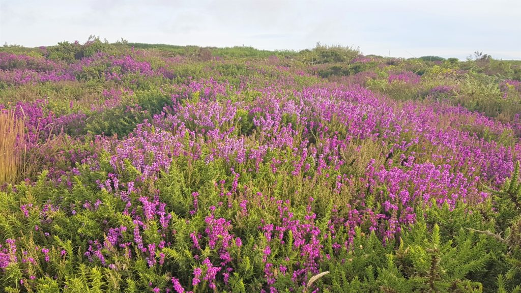 Purples and pinks of heather