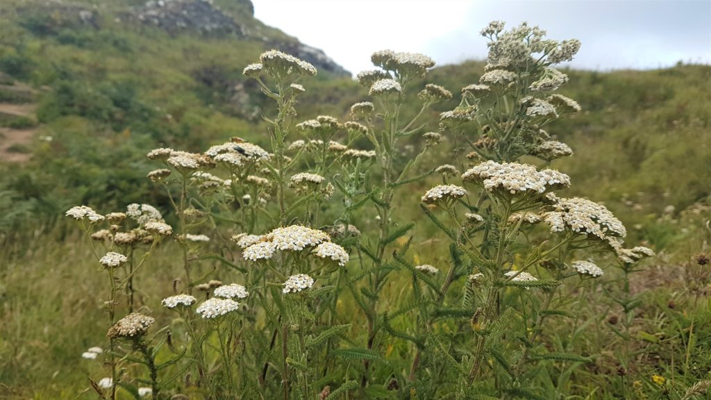 Yarrow in flower on the coast path
