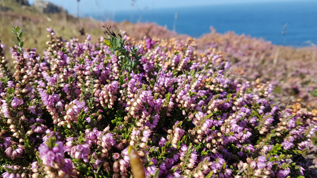 Heather on the Cornish coast