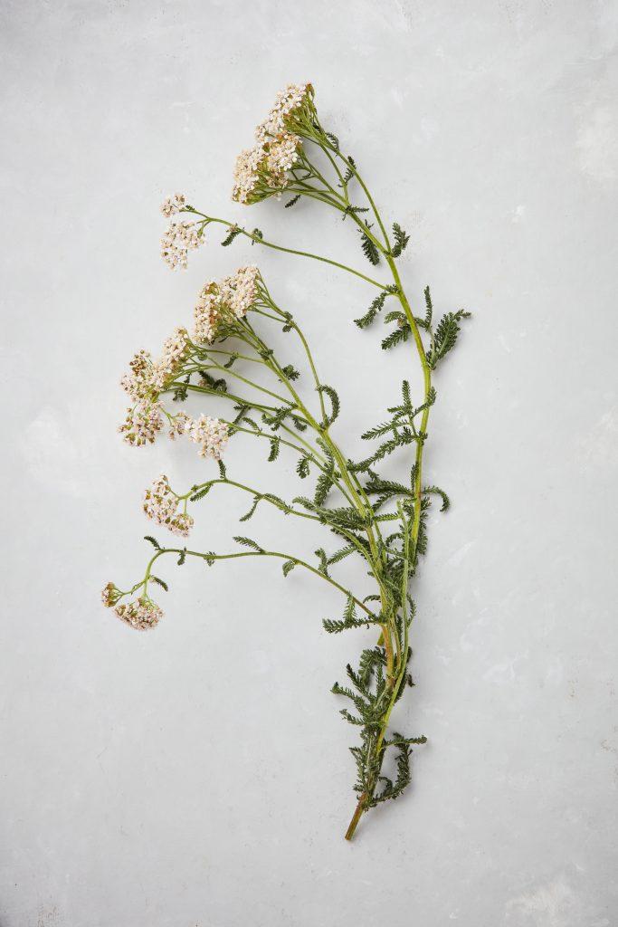 Sprig of yarrow in flower