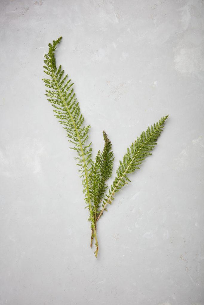 Leaves of yarrow