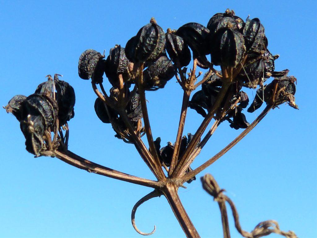 Alexander Seeds