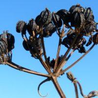 Alexander Seeds, Smyrynium olusatrum