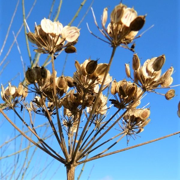 Seed-head of common hogweed