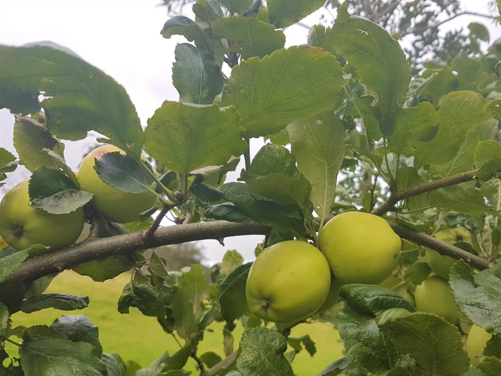 Wild apples growing in a tree