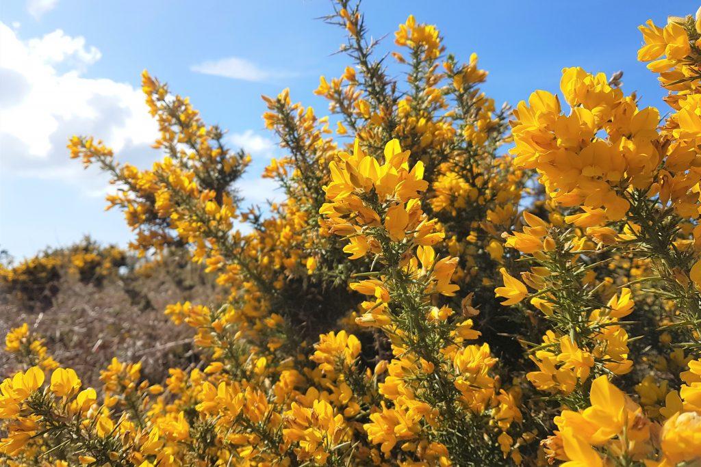 Gorse in flower across moorland