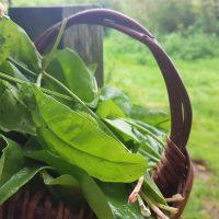 Basket of sorrel leaves