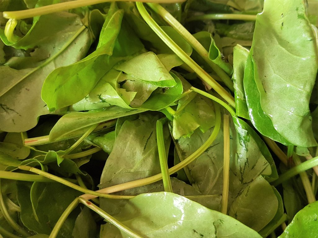 Freshly foraged wild sorrel leaves (Rumex acetosa) on a wild food course in Cornwall