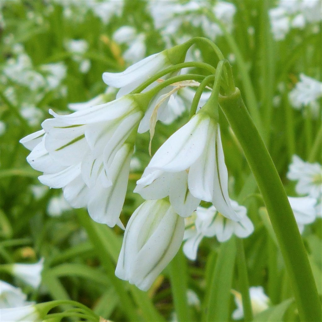 Three-cornered garlic in flower