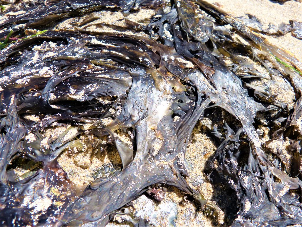 Cornish edible seaweed