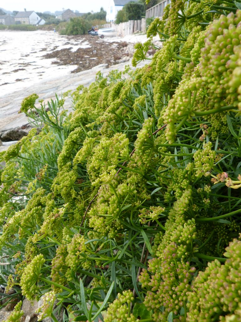 Rock samphire in summer
